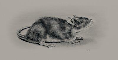 Cliquez sur l'image pour la voir en taille réelle  Nom : Rat-Web.jpg Affichages :3 Taille :225,7 Ko ID : 23294